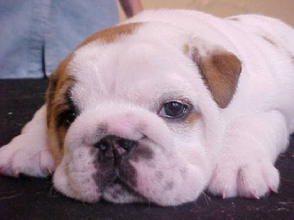 Sophia do Bulldog Urbano