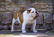 Meljane Bulldogs English Man In New York